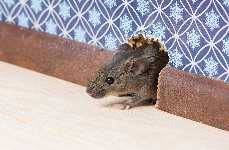 rat peeking out of home wall