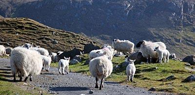 Schottland - Hebriden - Schafe