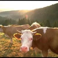 Hinterwälder Kühe