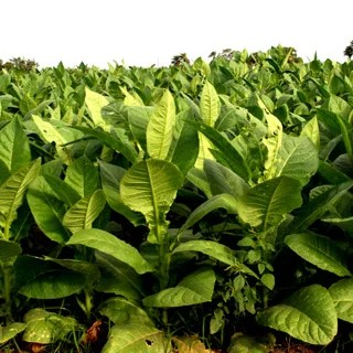 tobacco plant cancer vaccine