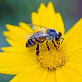 HARD-WORKING HONEYBEE: A mysterious ailment has been afflicting honeybees, responsible for pollinating many commercial crops.