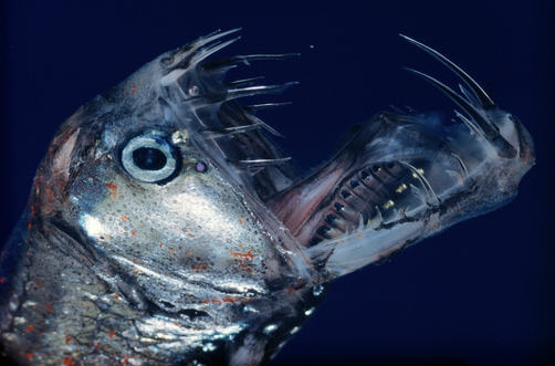 Image result for viperfish