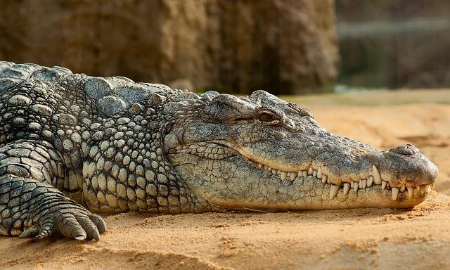 Crocodile lying on the sand