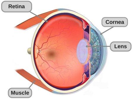 Anatomia da estrutura do olho humano