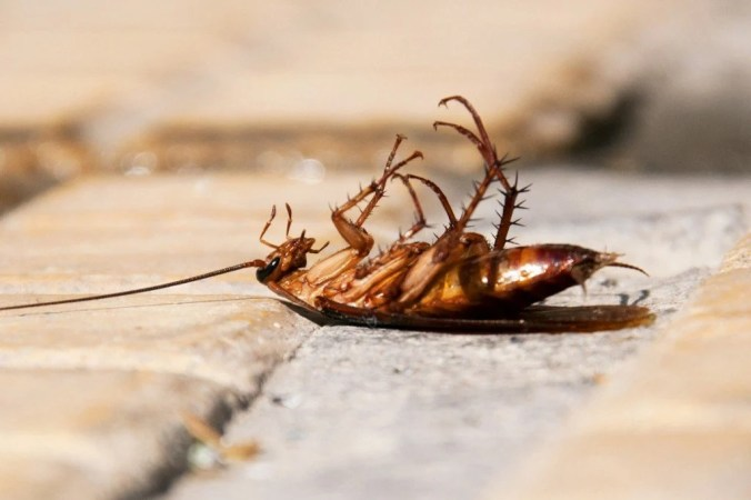 Why Do Cockroaches Die On Their Backs? » Science ABC