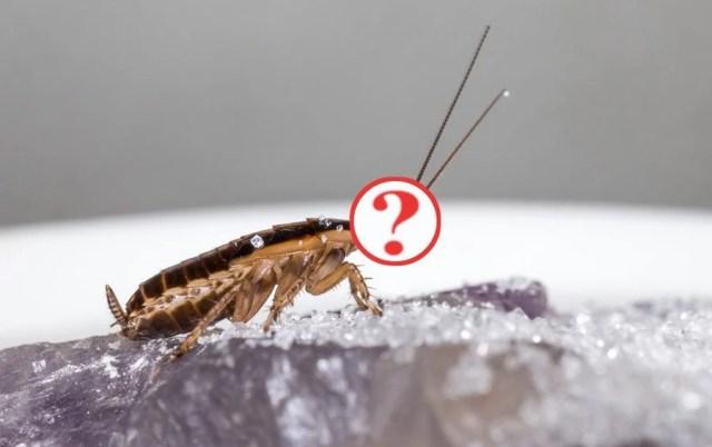 Como pode uma barata sobreviver sem sua cabeça?