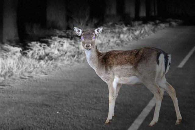 Por que os cervos ao atravessar pelos faróis de um carro congelam no lugar?