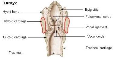 Partes básicas da laringe humana