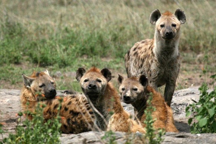 Hienas no grupo