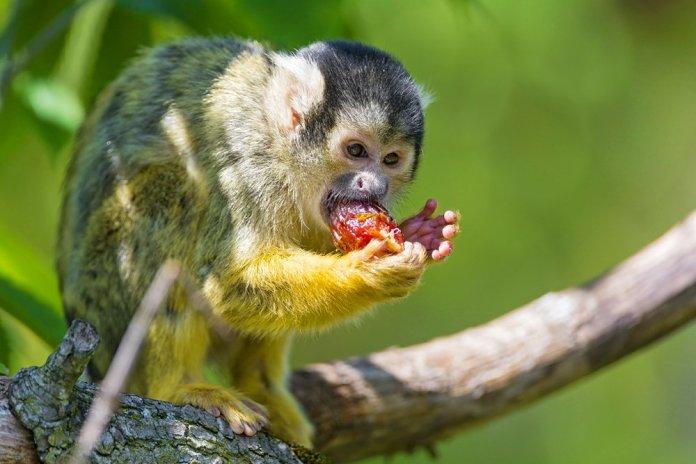 squirrel monkey eating red fruit