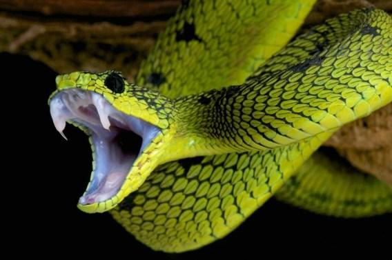 Veneno de cobra