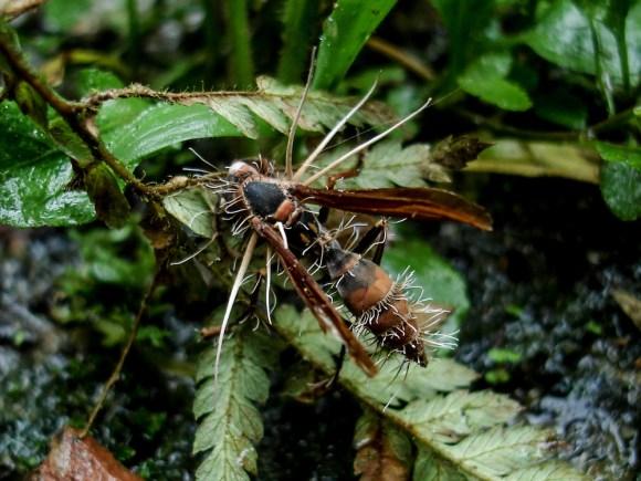 Cordyceps é um gênero de fungo ascomiceto que inclui cerca de 400 espécies (IPBio)