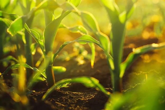 Culturas de milho crescendo no campo (igorstevanovic) s