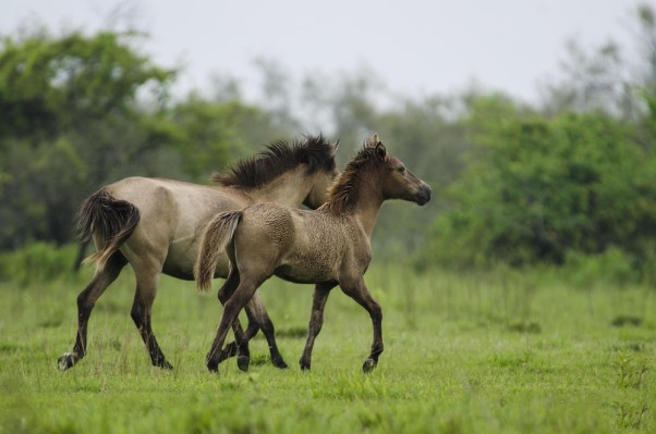 Cavalo selvagem do Parque Nacional Dibrusaikhuwa (Dhruba Jyoti Baruah) s