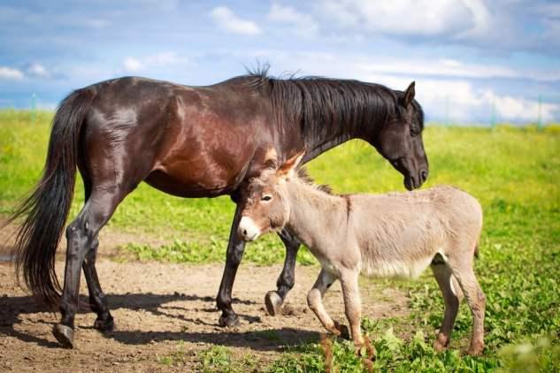 Burro cinzento e cavalo preto (DragoNika) S