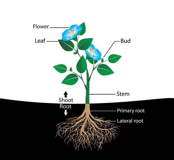 estrutura da flor, diagrama vetorial (Nikitina Olga) s