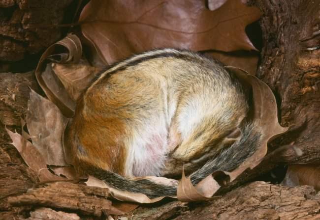 Esquilo oriental em hibernação (Tamias striatus) (Breck P. Kent) s