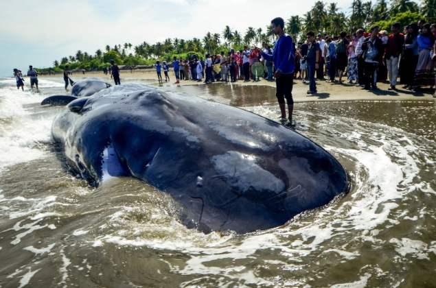 As pessoas locais testemunham espécies de cachalotes ou cabeças de caixas (riza azhari) S