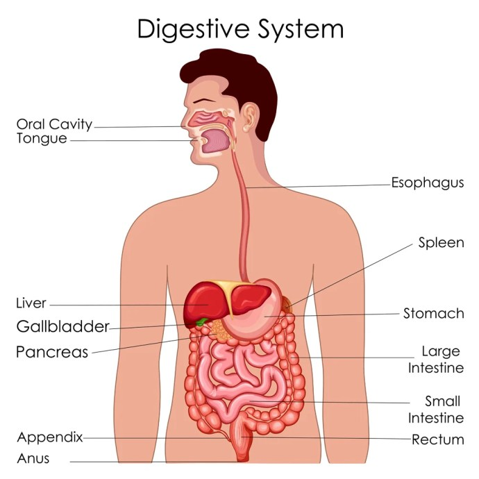 Diagrama de Biologia da Educação Médica para Diagrama do Sistema Digestivo (Vecton) s