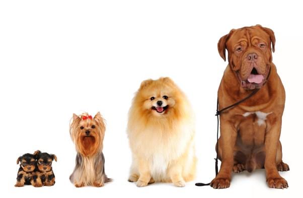 Grupo de cães de tamanhos diferentes sentar e olhar para a câmera isolada no branco.  Yorkshire terrier, spitz, cão bordoss (Nataliya Kuznetsova) s