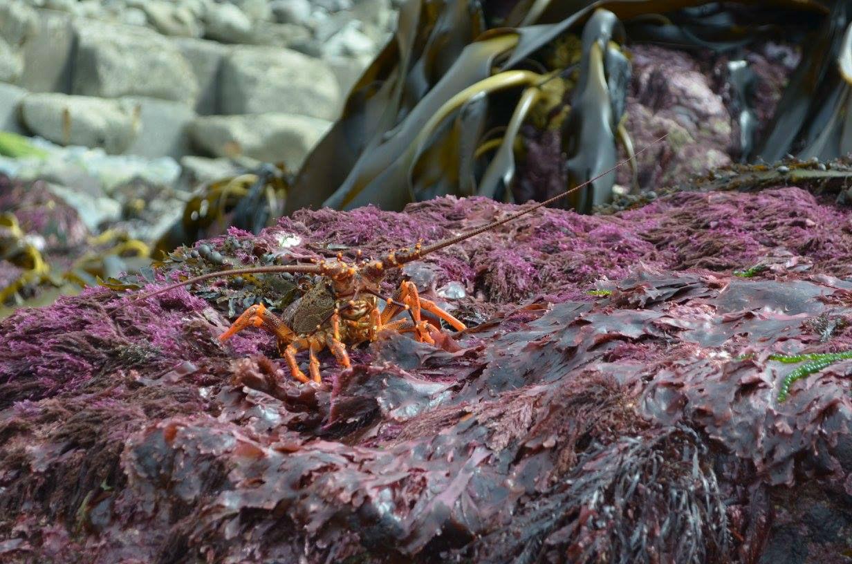 crab-rise