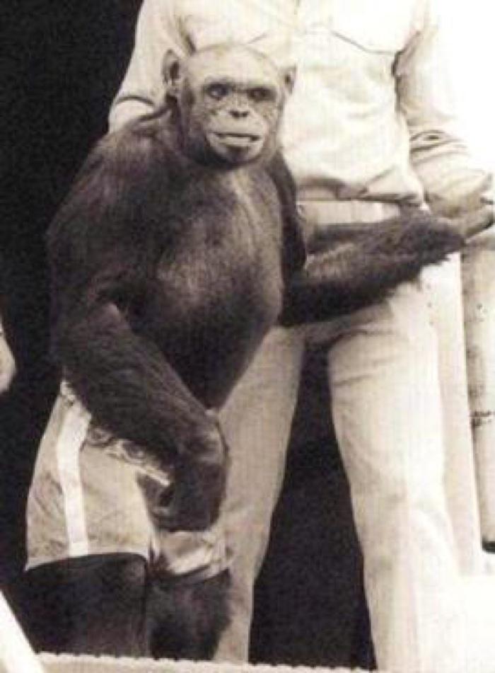 722 oliver humanzee chimp hybrid 1