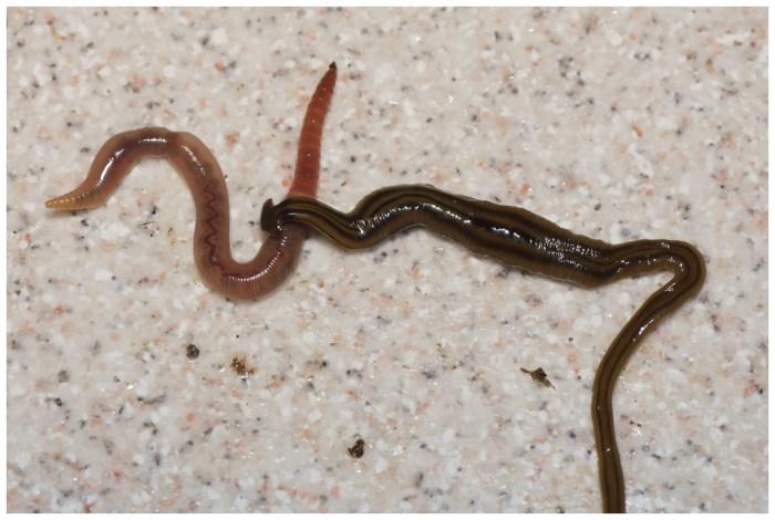 B. kewense, feeding on an earthworm. (Pierre Gros/CC-BY 4.0)