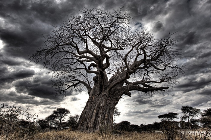 054 african baobab trees dying mystery 2
