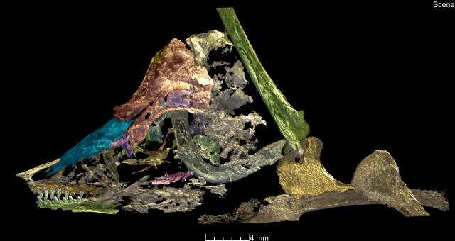 Una scansione di sincrotrone ha aiutato a rivelare le caratteristiche del fossile. (Paul Tafforeau / ESRF)