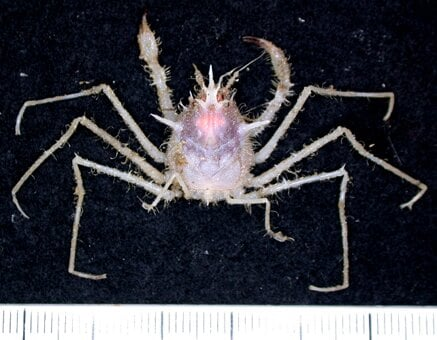 Hat maker crab image CSIRO 1