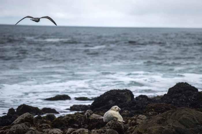 Elephant seal pups lie on rocks at Horseshoe Cove. (Michael Robinson Chavez/The Washington Post)