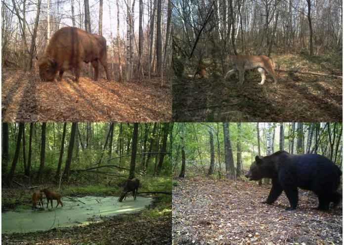 Bisonte europeo, lince boreale, alce e orso bruno fotografati all'interno della zona di esclusione di Chernobyl (Ucraina).  (Proyecto TREE / Sergey Gaschack)
