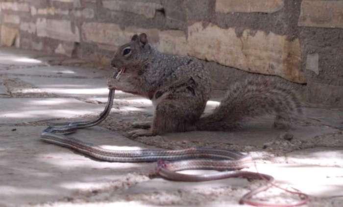 squirrel eating snake part 2