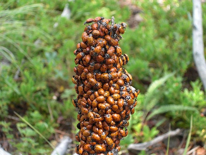 adult aggregation of convergent ladybeetles