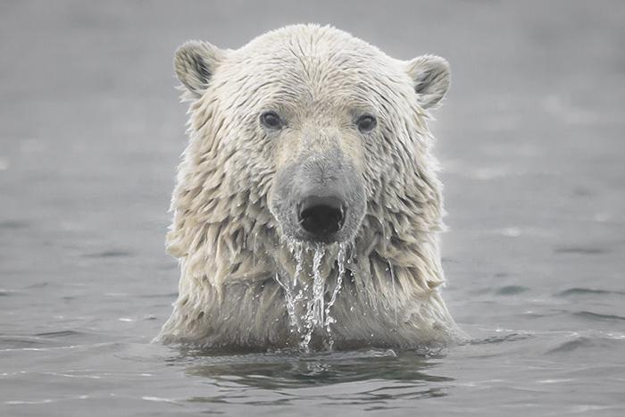 polar bear istock