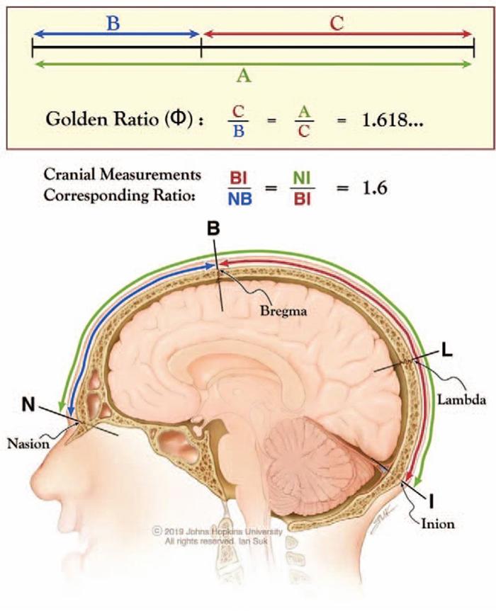 Golden ratio distances in the human skull