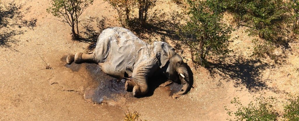 Mysterious Cause Of Hundreds Of Elephant Deaths In Botswana Finally Comes Into Focus