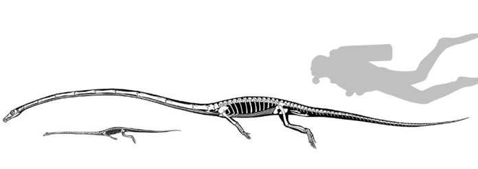 tanystropheus size compared to a human
