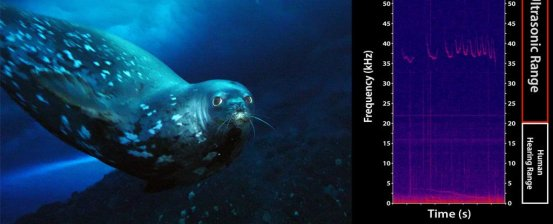 Underwater seals create eerie ultrasonic sounds, and we have no idea why