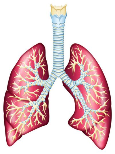 Lungs are a crucial part of respiration
