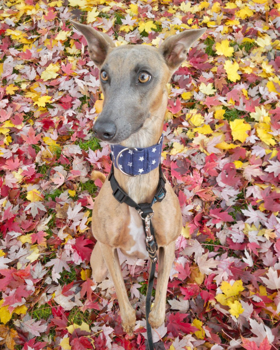 Kuiper sits up, surrounded by fall leaves.