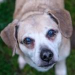 Headshot of old, adorable dog.