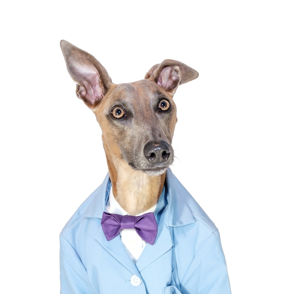 Headshot of handsome whippet dog with bowtie.
