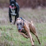 Kuiper runs with a new friend at the dog park.