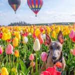 Kuiper poses in a field of tulips with two hot air balloons in the background.