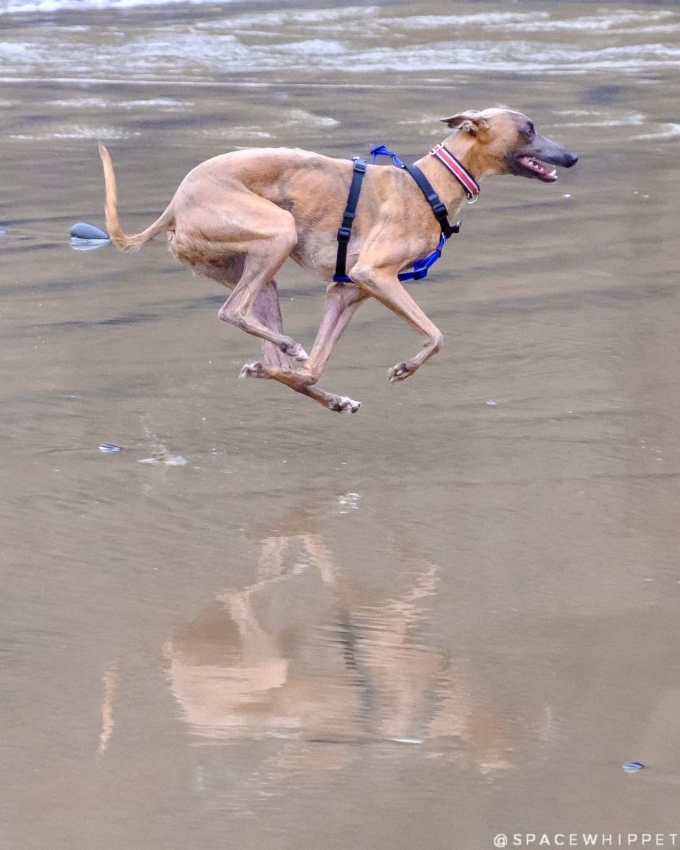 Kuiper gallops on the beach. All four legs are off the ground.