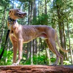 Kuiper stands majestically on a log in the forest.