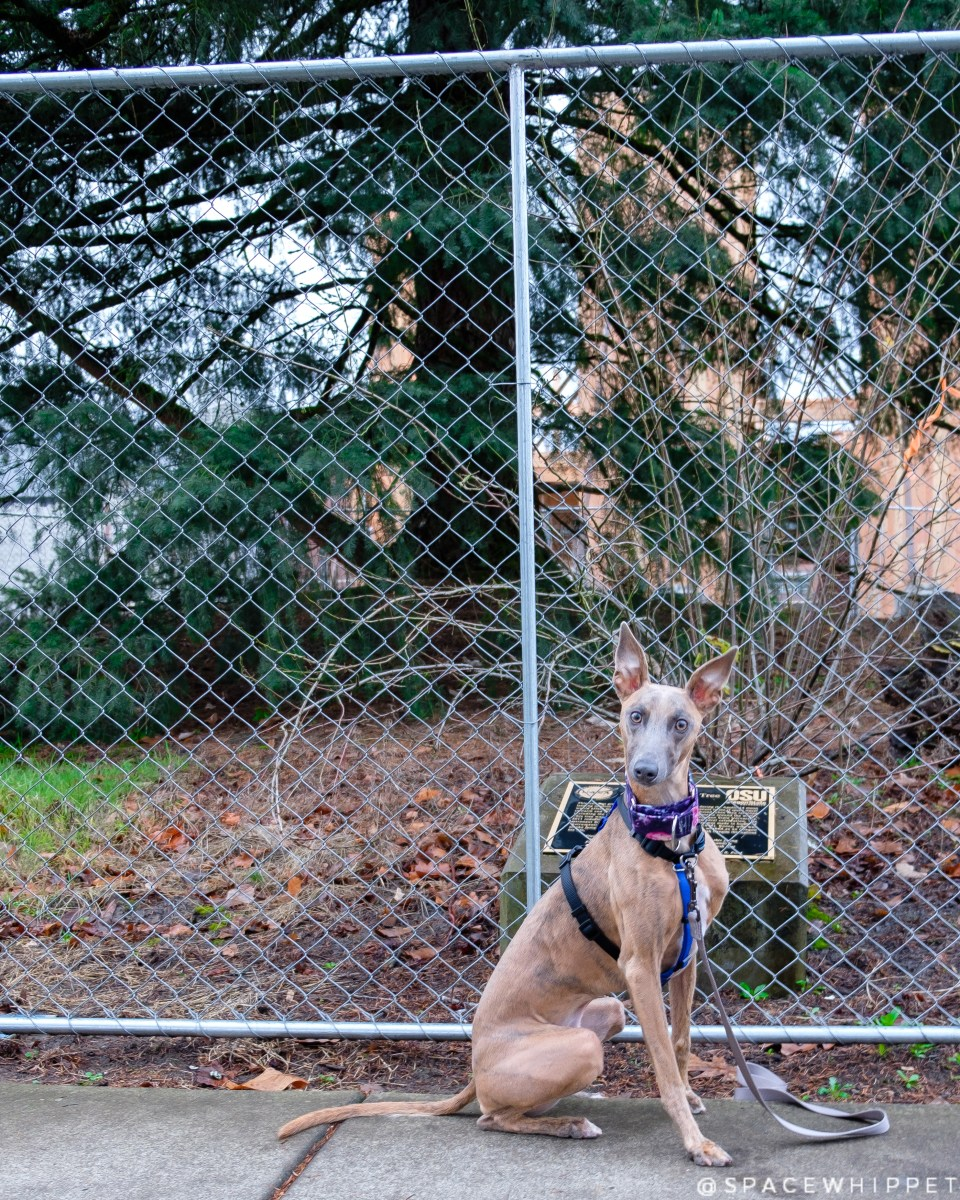 Kuiper sits in front of a chain link fence. A Douglas Fir is visible on the other side of the fence.