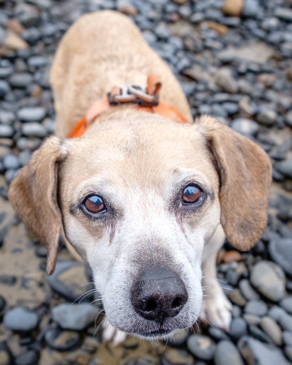 A senior dog with a sweet face gazes lovingly at the camera.