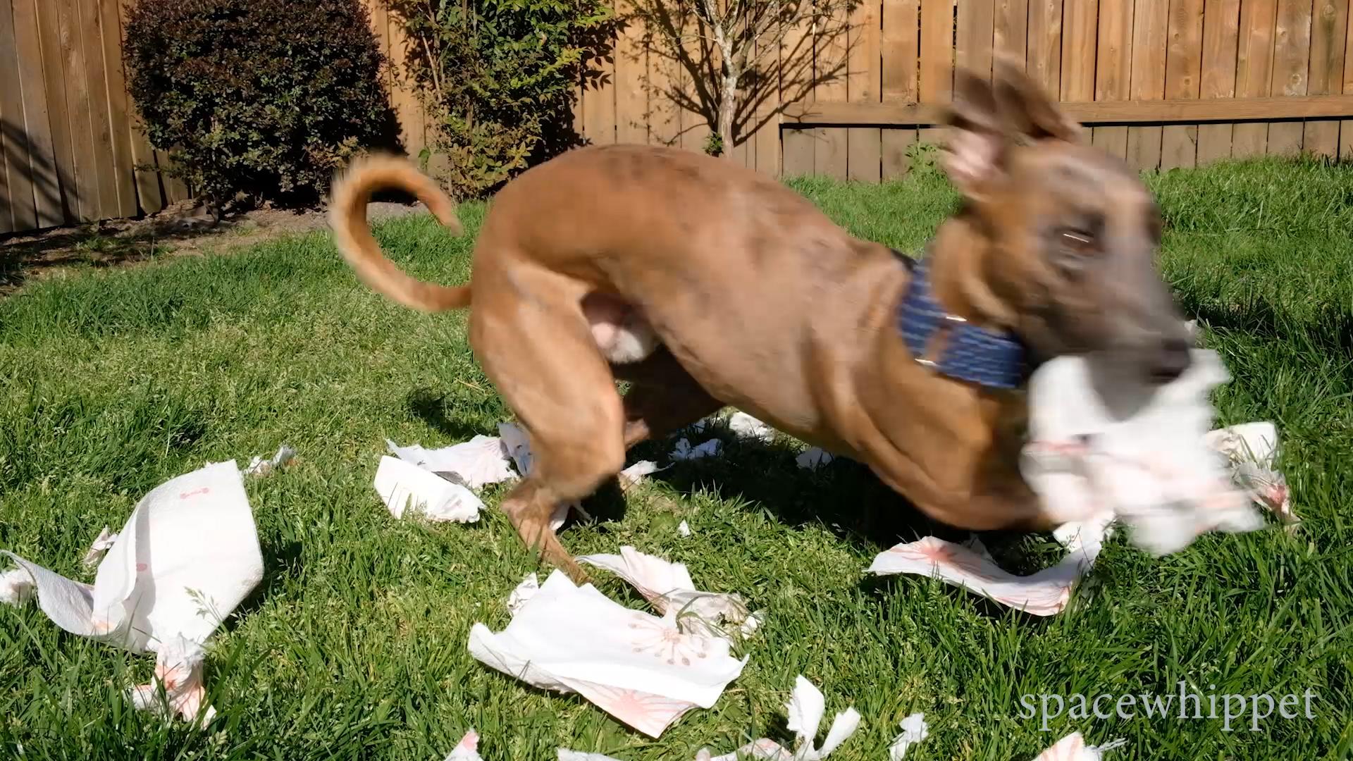 Kuiper zips around the yard while shredding napkins.